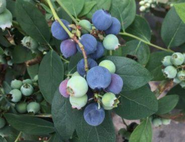 Seguimiento Nutricional en cultivo de arándanos