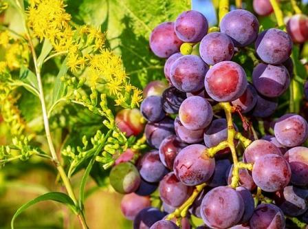 Control analitico en uva y vino
