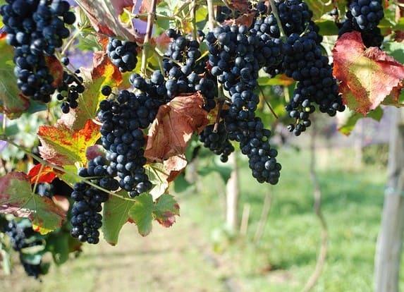 Control de calidad en uva, mosto y vino