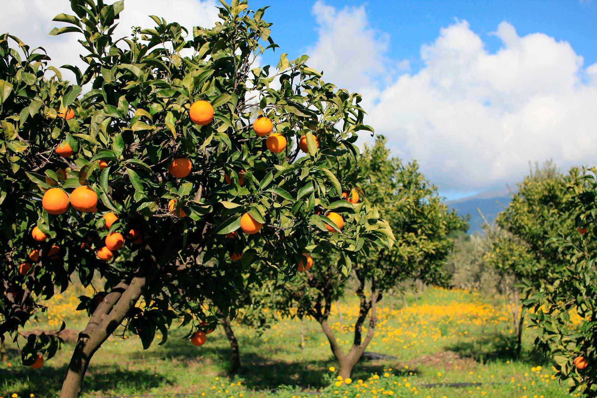 Naranjos que forman parte del seguimiento y control nutricional de AGQ Labs España