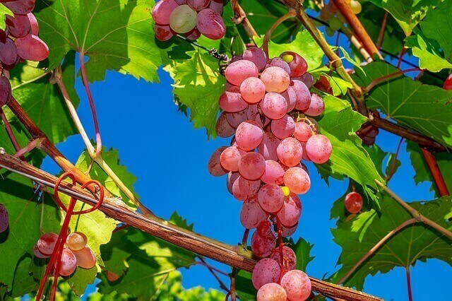 analisis de calcio ligado en uva de mesa