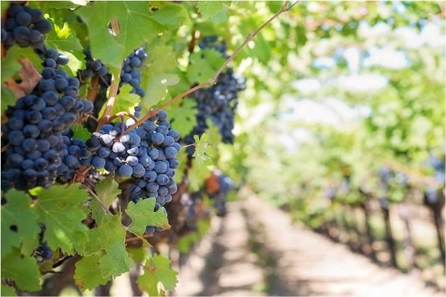 analisis foliares en viña