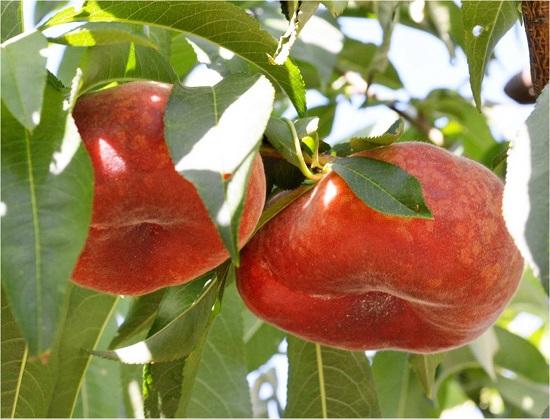 analisis foliares en frutal de hueso