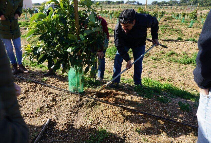 cultivos de aguacate