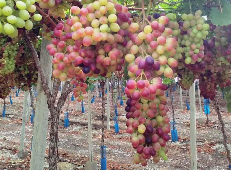 Clientes chilenos visitan explotaciones agrícolas en Murcia
